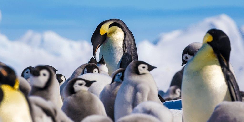 Emperor penguin population expected to halve this century
