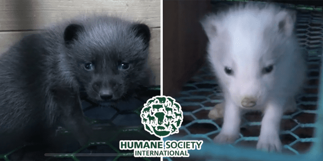 Fur farm investigation reveals fox decomposing among the living and mink driven to cannibalism