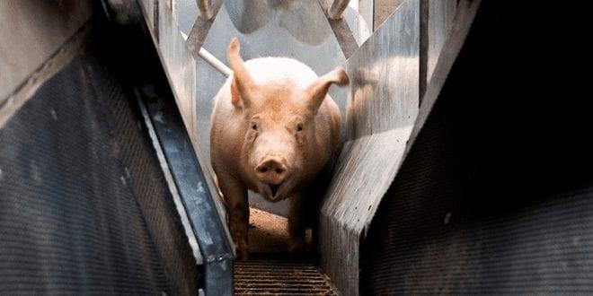 Investigation Conscious pig