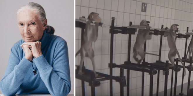 Jane Goodall slams German lab where monkeys were subjected to horrific abuse