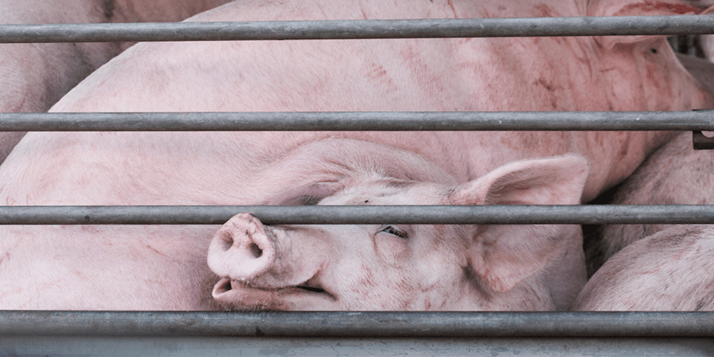New slaughterhouse kill speeds force employees to 'beat, drag and electrocute' pigs to make them move faster