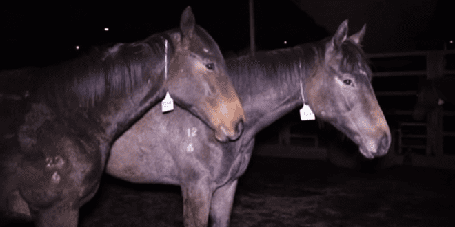 Thousands of racehorses secretly sent to slaughter where they are abused, shocked and beaten