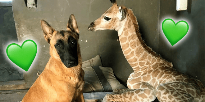 Abandoned baby giraffe and dog bond at animal orphanage