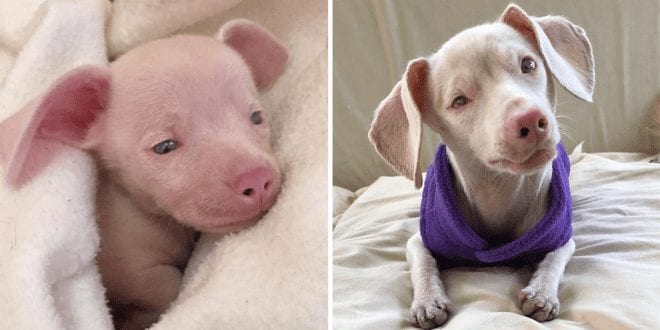 Adorable Piglet- a pink, deaf and blind puppy is helping children overcome their own challenges and struggles