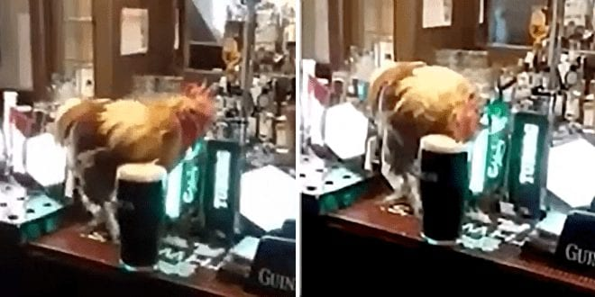 Fury-over-video-of-chicken-drinking-pint-of-Guinness-in-Irish-pub