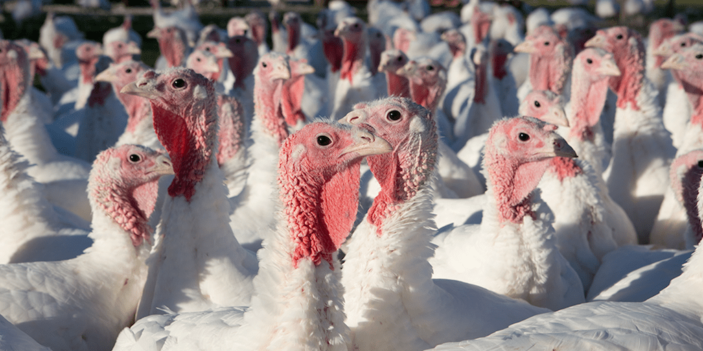 Investigation reveals workers 'sexually assaulting' birds at major Christmas turkey farm