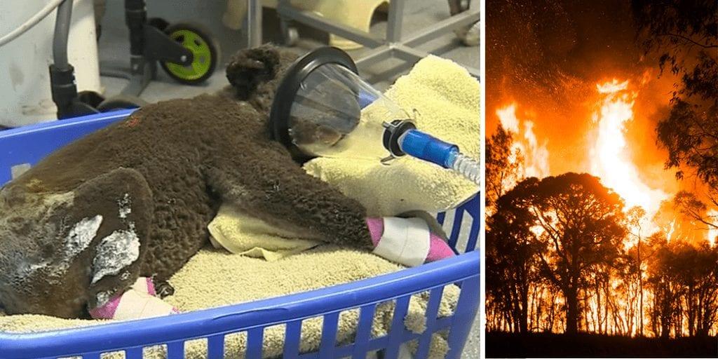 More-than-1000-koalas-die-in-Australian-bushfires