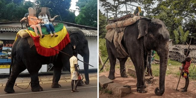 Young elephant dies from exhaustion after being relentlessly forced to carry tourists