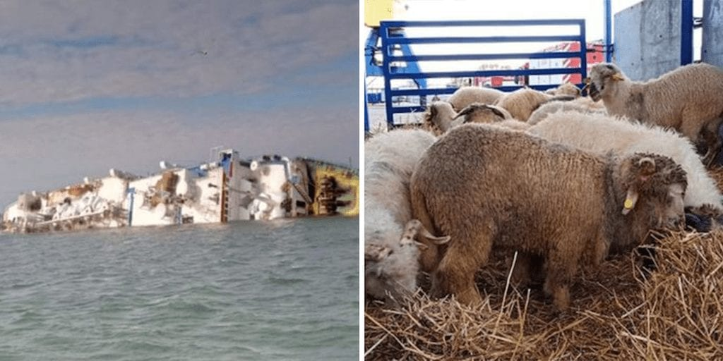 14,000 sheep die after 'overloaded' export boat capsizes