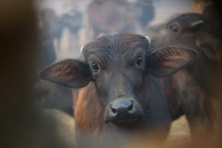 buffalos beheaded at festival in Nepal, but activists saved thousands of animals