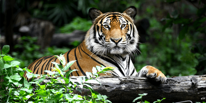Circus tigers who were beaten with metal bars are finally rescued from Guatemala