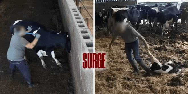 Hidden cameras reveal workers punching, kicking and beating calves with sticks at dairy farm, surge activism and earthling ed investigate