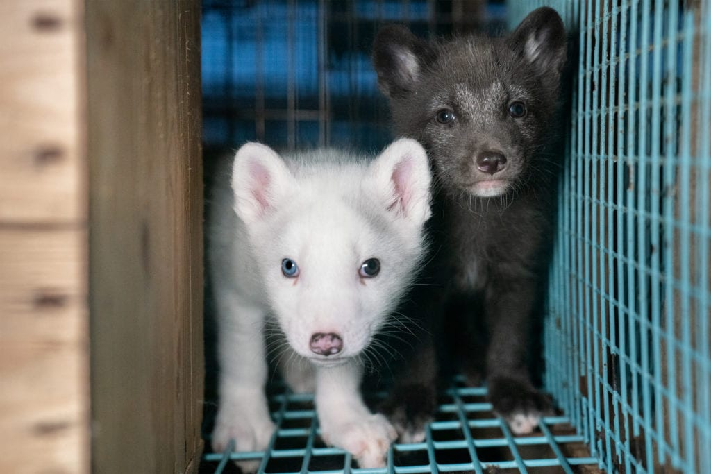 Two fox cubs in a cage waiting to be killed for their fur. Photos taken on two fur farms in Finland as part of an investigation into the cruelty of fur farming with TOWIE's Pete Wicks, Humane Society International, and Finnish animal protection organisation Oikeutta Elaimille