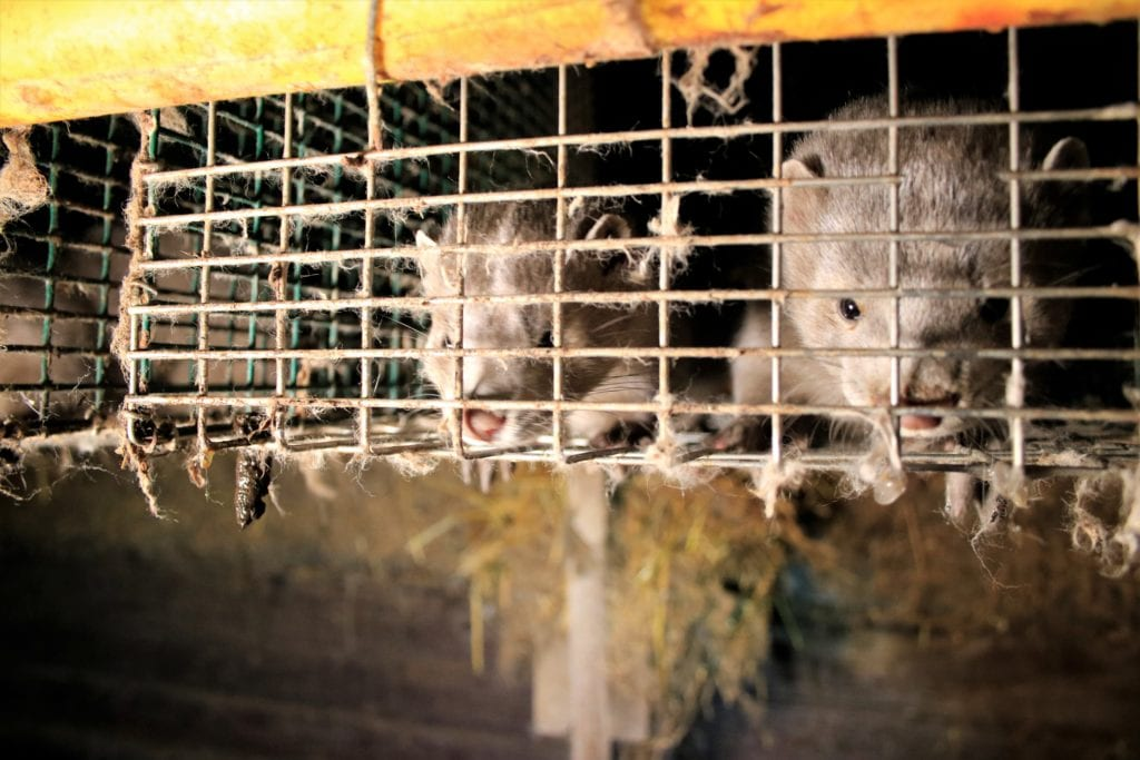 Two abused mink in a dirty cage from an investigation at a Finnish Fur Farm