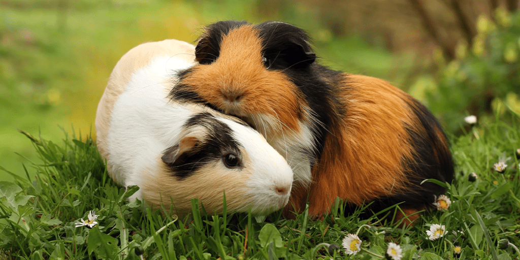 It's now illegal to own just one guinea pig in Switzerland because they feel lonely and isolated. Picture depicts two guinea pigs cuddling.