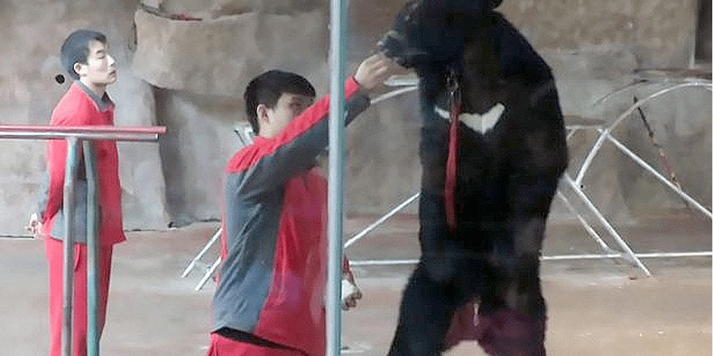 Muzzled bear forced to dance to The Ting Tings in cruel Chinese zoo show