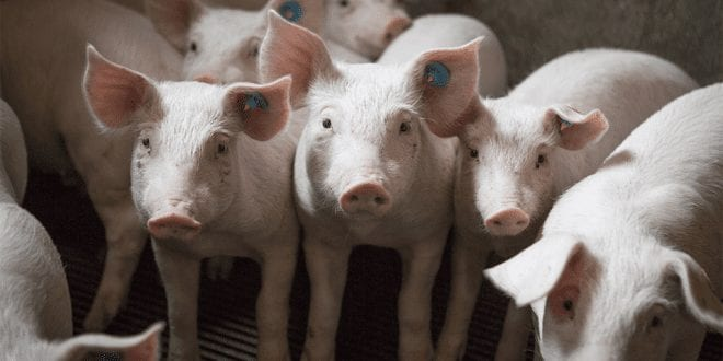 New US bill allows slaughterhouses to 'self-police' animal welfare