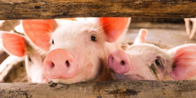 Pig virus crisis increases demand for plant-based 'meats' in China