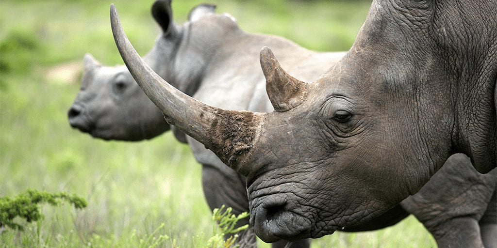 Scientists disrupt poaching industry by making fake rhino horns from hair