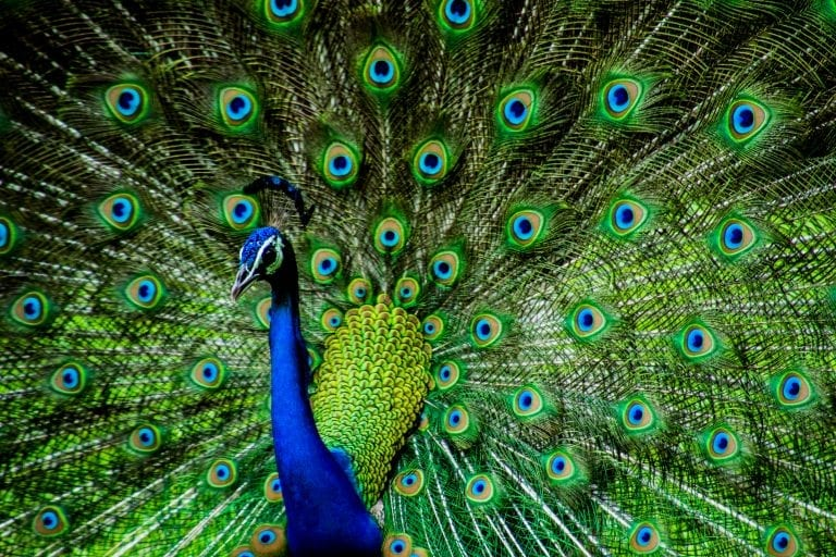 'Senseless killing' of peacocks in South Africa as residents cull 'noisy' birds