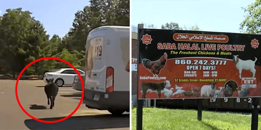 Slaughterhouse worker charged for stabbing escaped cow in parking lot in harrowing vide