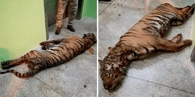 Starving tigers found covered in excrement in tiny cages on fatal trip across Europe