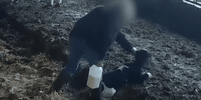 'Local' UK farm investigated for horrific footage of farmers beating newborn calves