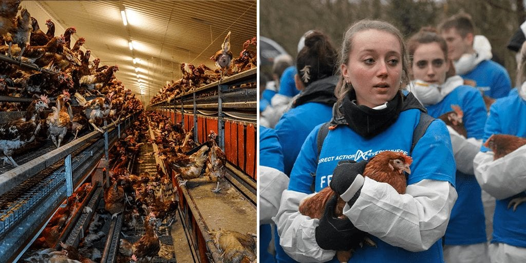 British farm suspended thanks to animal activists DxE exposing appalling conditions