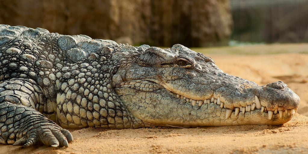 Crocodiles electrocuted and skinned alive to make designer handbags