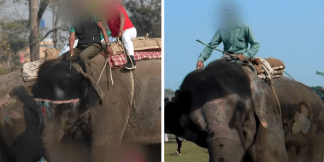 Elephants beaten with hooks and stabbed in the ears to force them to perform for tourists at Nepalese festival