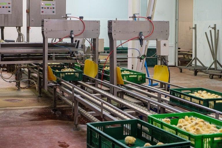 France bans the egg industry from shredding male chicks alive