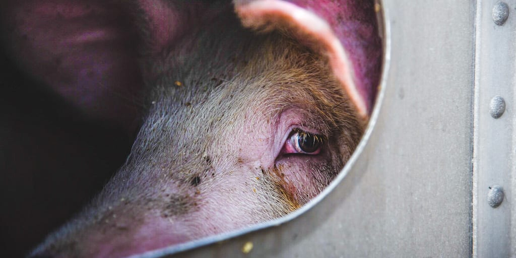 Investigation launched into Red Tractor pig farm after activists find 'dead babies everywhere'