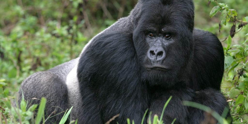 Mountain gorilla recovers dramatically thanks to 'extreme conservation'