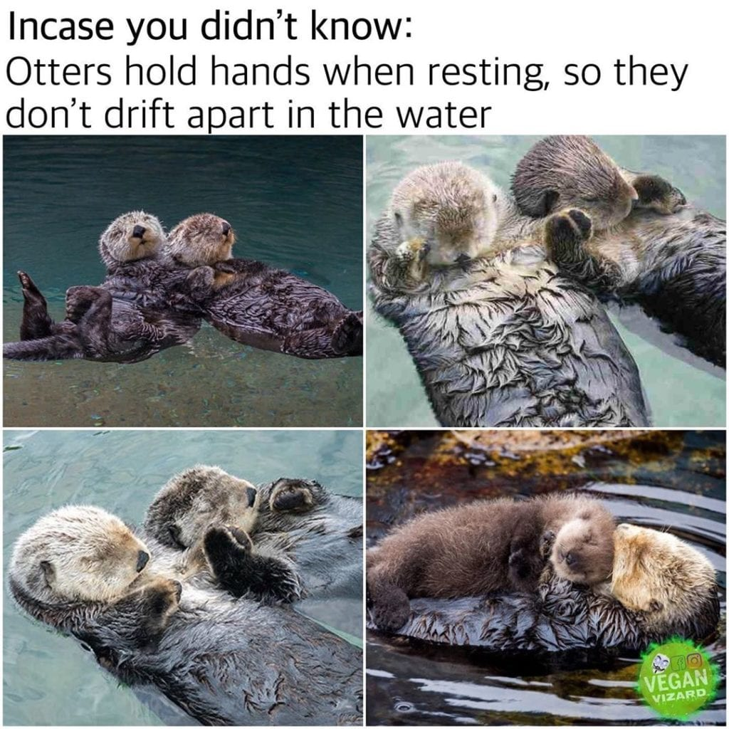 Otters hold hands when resting