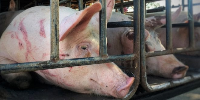 Pigs boiled alive in Netherlands