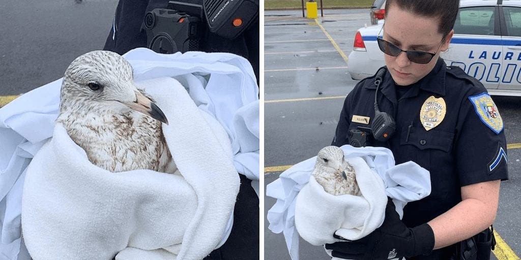 Suspect lured seagulls into parking lot with popcorn and ran them over