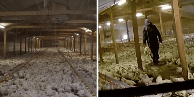 chicken farm Essex