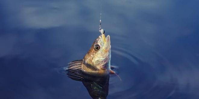 Study shows fish caught with hook baits struggle to eat after release