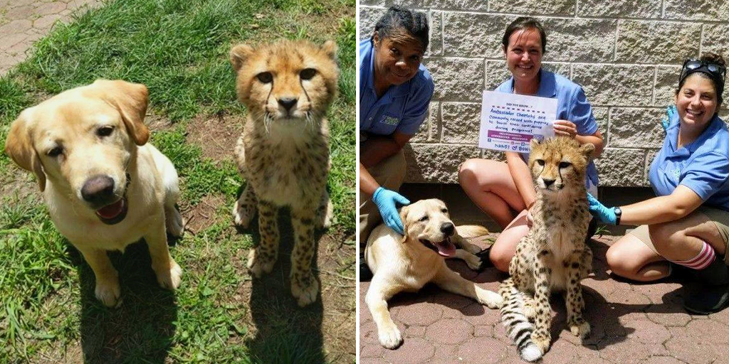 A Labrador and Cheetah are best friends in a New Jersey zoo