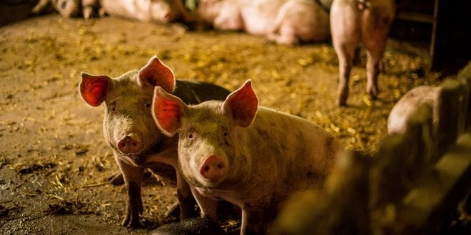 Activists sue USDA over abuse of millions of pigs too sick and injured to walk