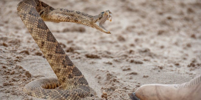Battle to end Texas event where teen beauty queens 'take turns in decapitating helpless snakes'
