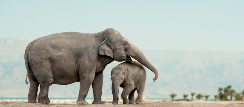 Botswana sells 60 elephant shooting permits