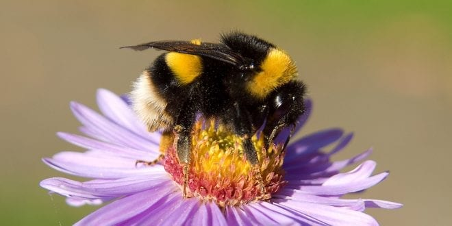 Bumblebee populations down nearly 50 percent thanks to climate change