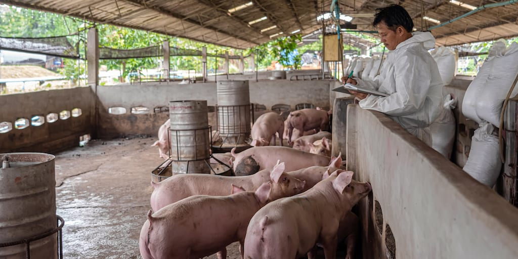 Deadly African swine fever virus outbreak kills nearly 1000 pigs in Bali