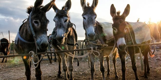 Donkeys 'to go extinct' in Kenya by 2023 as 1,000 are slaughtered every day for their skin