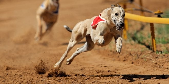 Healthy greyhounds killed 'in their prime' in racing industry as shocking death toll figures are revealed