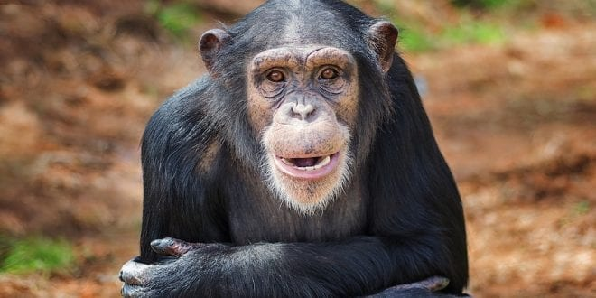 Research chimps set free after decades of abuse and confinement