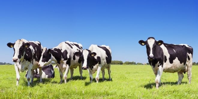 Teens cows are just as moody as teenagers, study shows