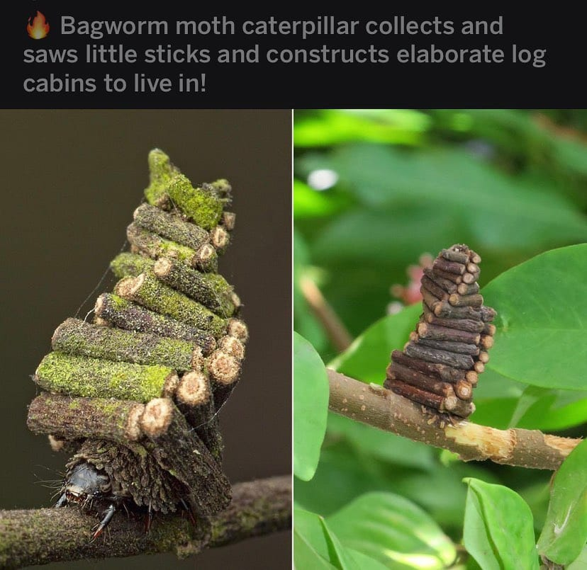 The Bagworm is a legend