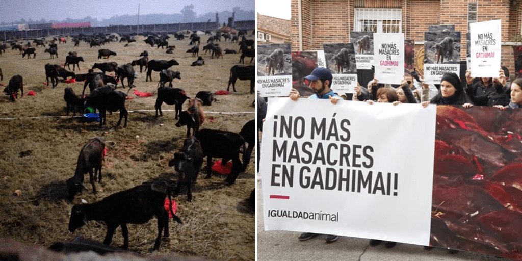 Thousands of animals tortured, decapitated and killed at Nepali festival despite government ban